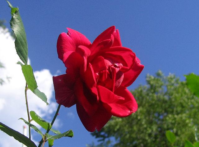 银湖拍玫瑰_图1-8