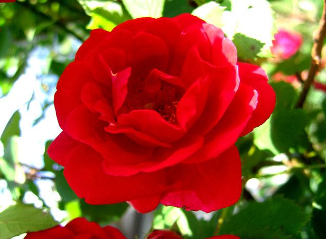 银湖拍玫瑰_图1-11