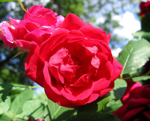 银湖拍玫瑰_图1-12