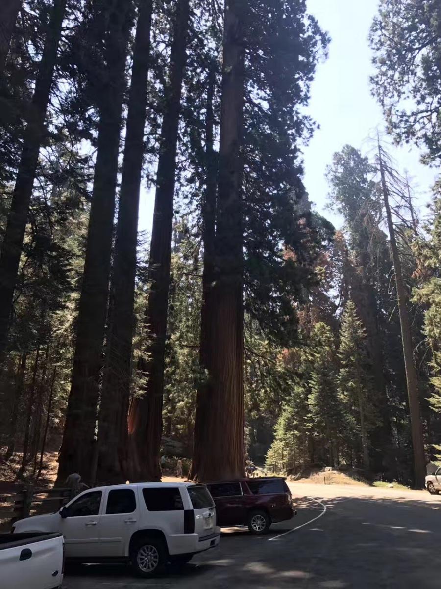 加州红杉巨松_图1-2