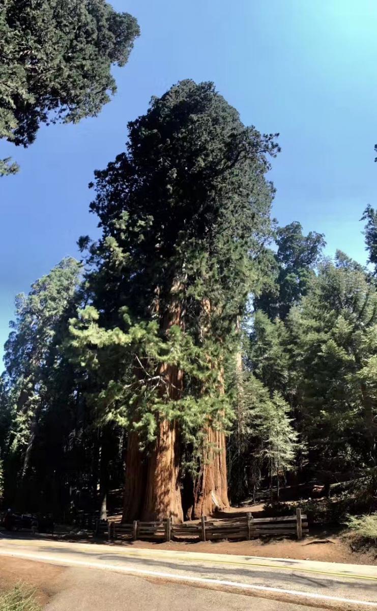 加州红杉巨松_图1-3