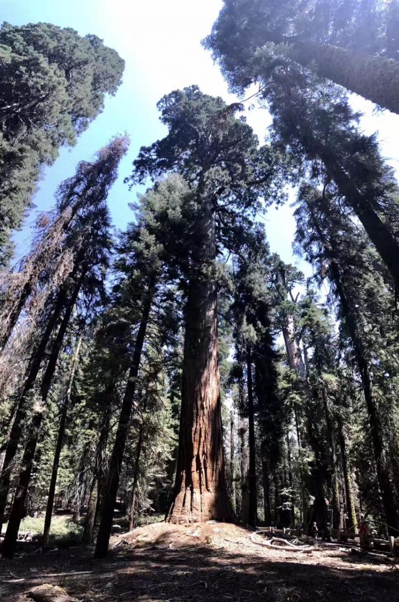 加州红杉巨松_图1-7