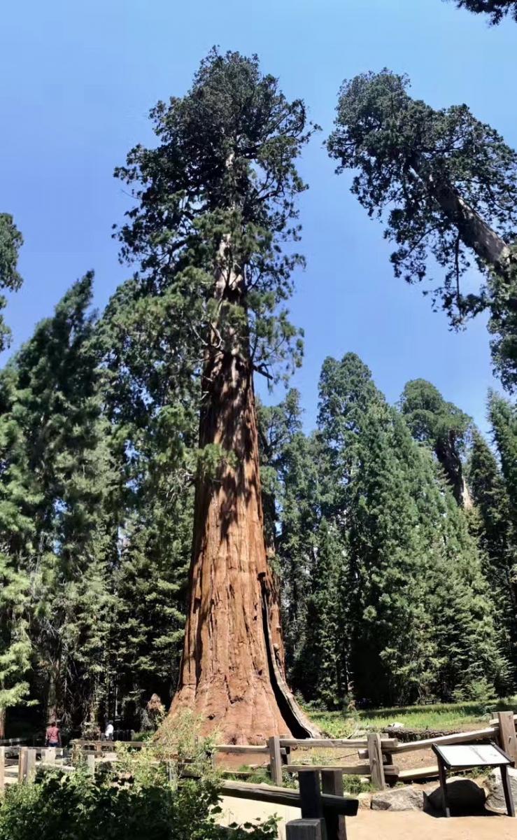 加州红杉巨松_图1-9