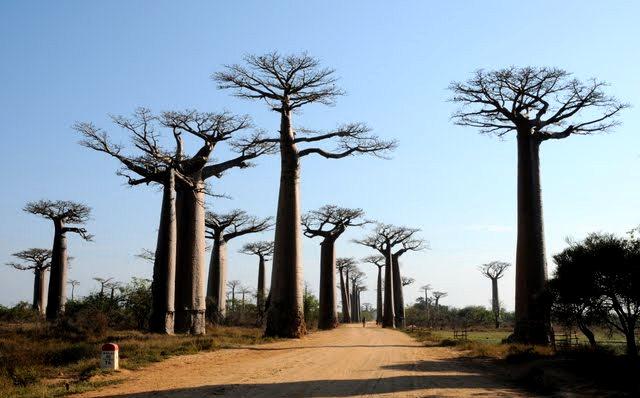 马达加斯加拍猴面包巨树_图1-1