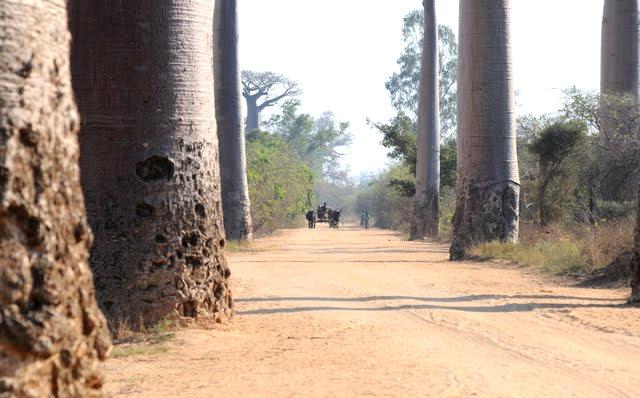 马达加斯加拍猴面包巨树_图1-2