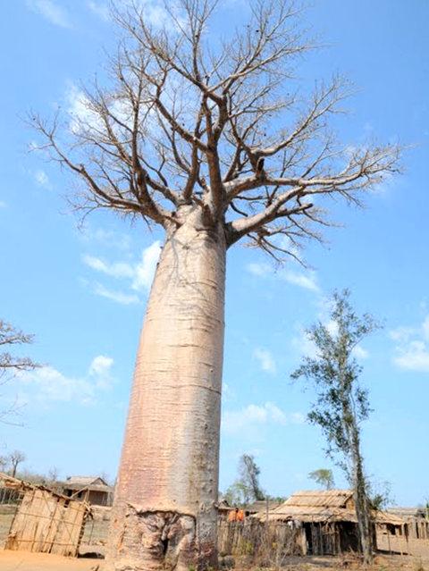 马达加斯加拍猴面包巨树_图1-3