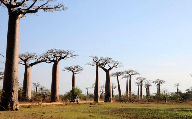 马达加斯加拍猴面包巨树_图1-4