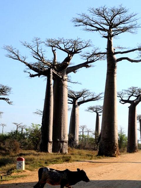 马达加斯加拍猴面包巨树_图1-5