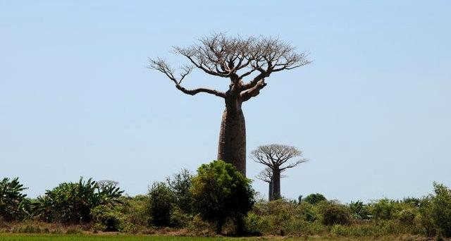马达加斯加拍猴面包巨树_图1-6