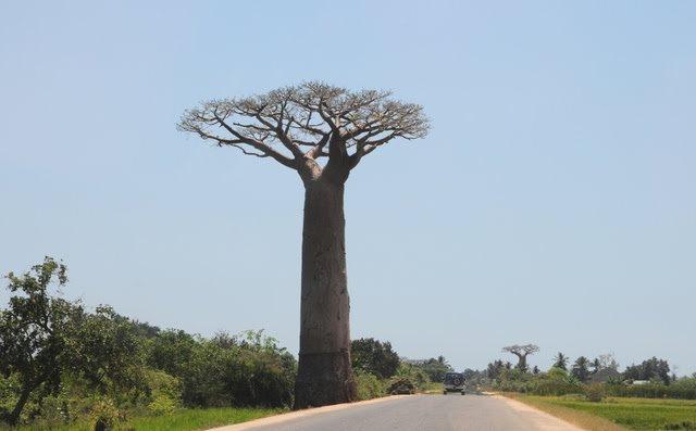 马达加斯加拍猴面包巨树_图1-7
