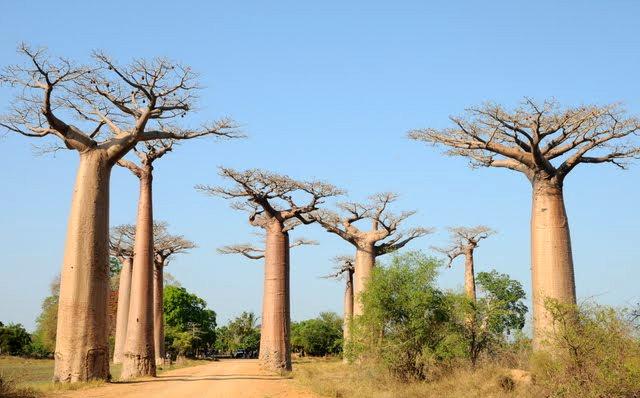 马达加斯加拍猴面包巨树_图1-8