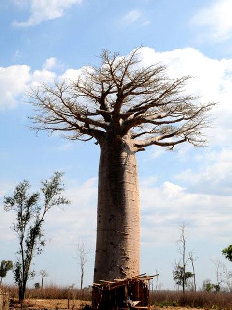 马达加斯加拍猴面包巨树_图1-9