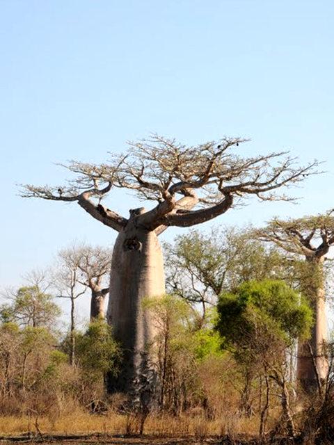 马达加斯加拍猴面包巨树_图1-12
