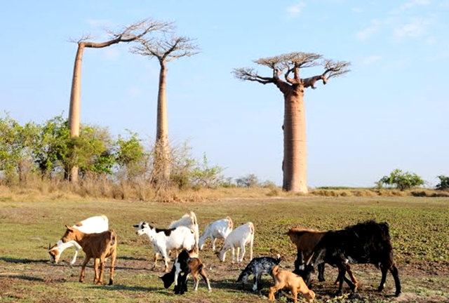 马达加斯加拍猴面包巨树_图1-13