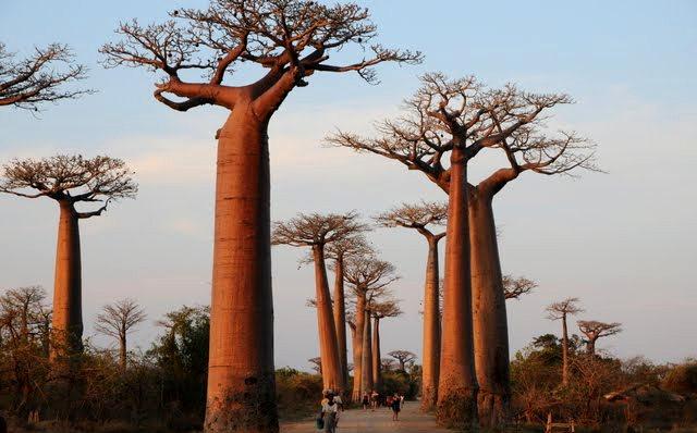 马达加斯加拍猴面包巨树_图1-14
