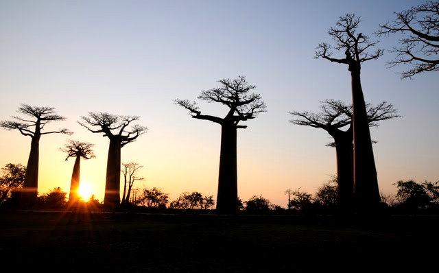马达加斯加拍猴面包巨树_图1-15
