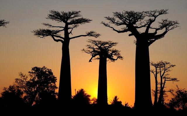 马达加斯加拍猴面包巨树_图1-16