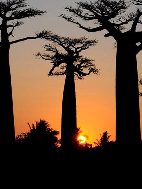 马达加斯加拍猴面包巨树_图1-17