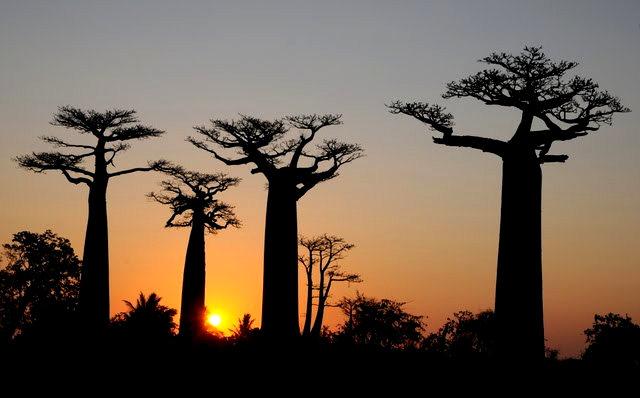 马达加斯加拍猴面包巨树_图1-18