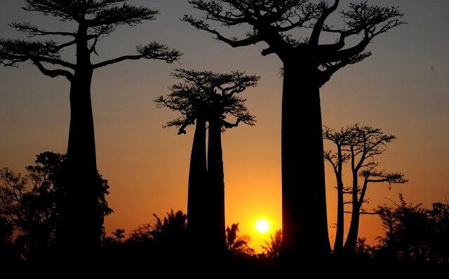 马达加斯加拍猴面包巨树_图1-19