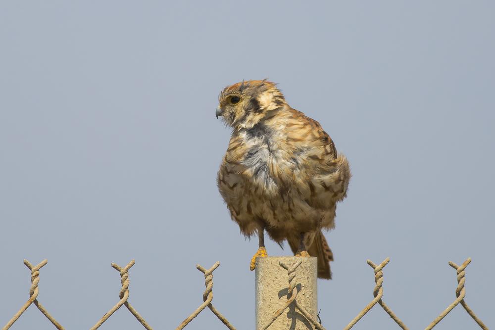 美洲隼鹰 American Kestrel_图1-1
