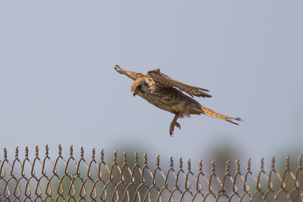 美洲隼鹰 American Kestrel_图1-2
