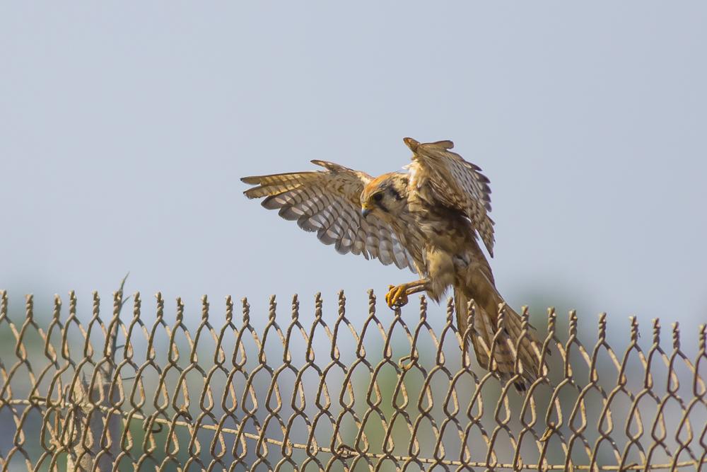 美洲隼鹰 American Kestrel_图1-3