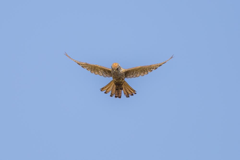 美洲隼鹰 American Kestrel_图1-9