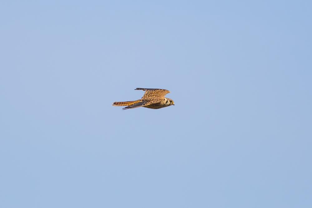 美洲隼鹰 American Kestrel_图1-10