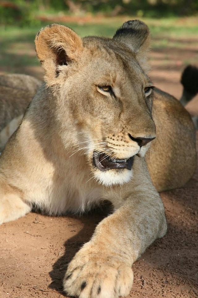 博茨瓦纳狮子保护园_图1-2