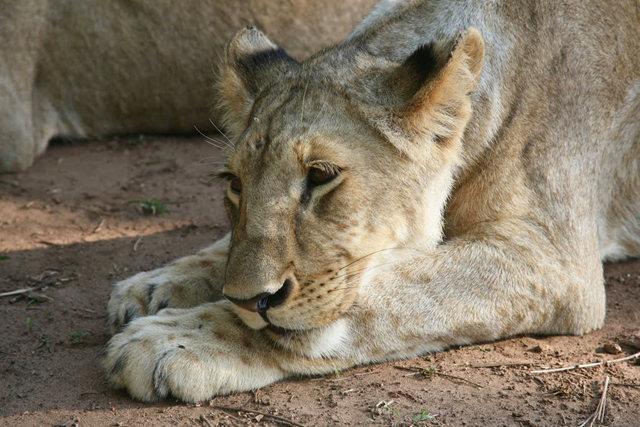 博茨瓦纳狮子保护园_图1-3