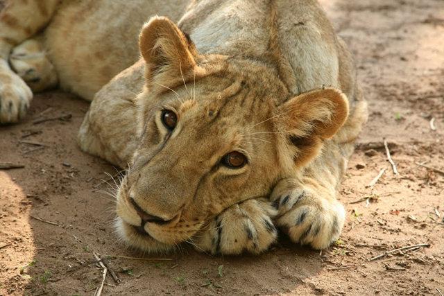 博茨瓦纳狮子保护园_图1-4