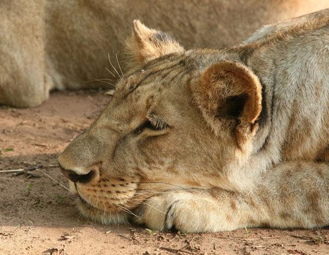 博茨瓦纳狮子保护园_图1-5