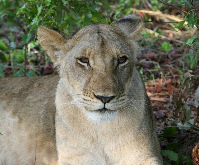 博茨瓦纳狮子保护园_图1-6
