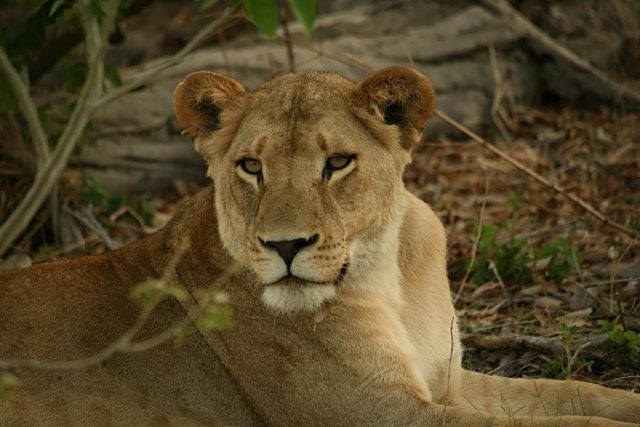 博茨瓦纳狮子保护园_图1-7