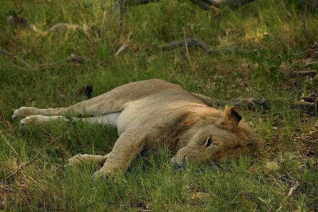 博茨瓦纳狮子保护园_图1-8