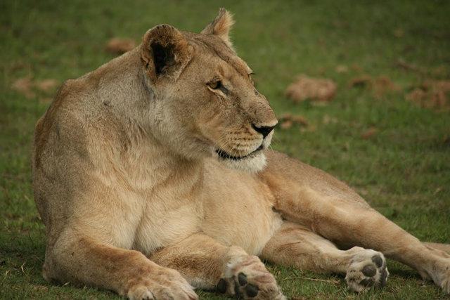 博茨瓦纳狮子保护园_图1-9