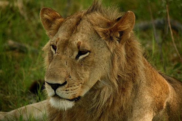 博茨瓦纳狮子保护园_图1-11