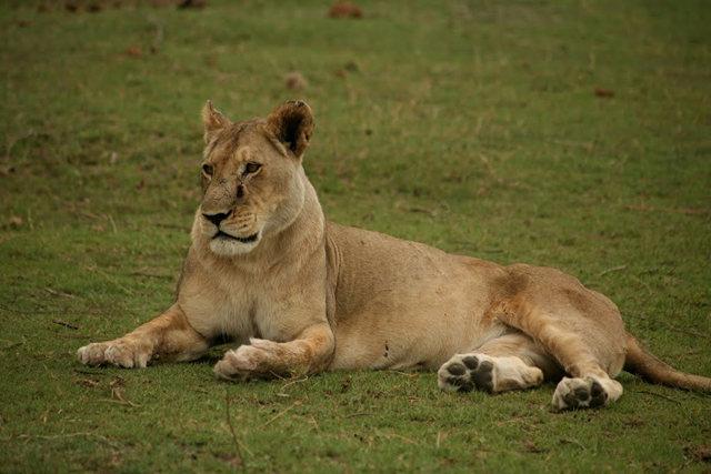 博茨瓦纳狮子保护园_图1-12