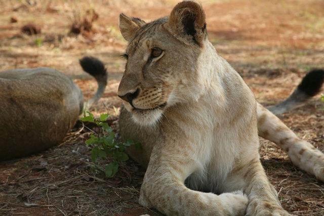 博茨瓦纳狮子保护园_图1-13