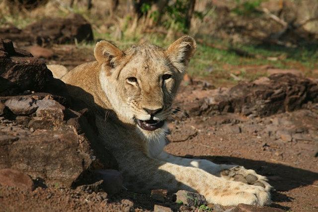 博茨瓦纳狮子保护园_图1-16