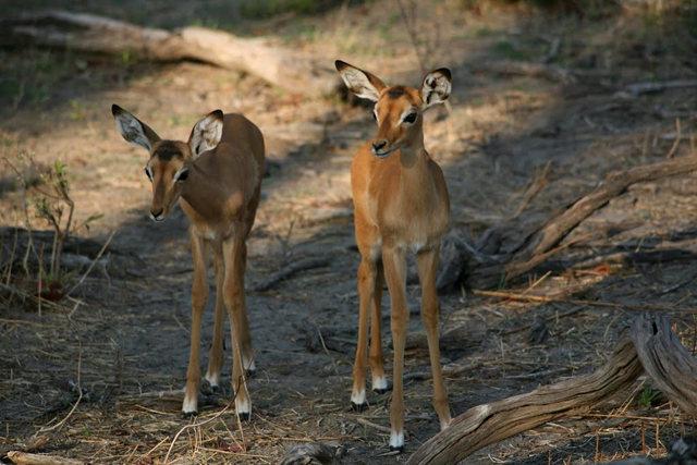 博茨瓦纳狮子保护园_图1-17