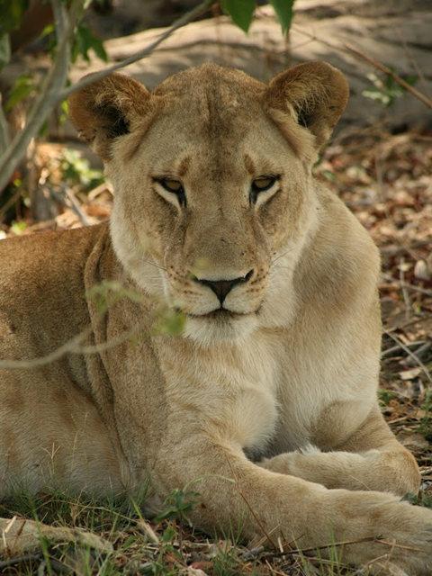 博茨瓦纳狮子保护园_图1-19