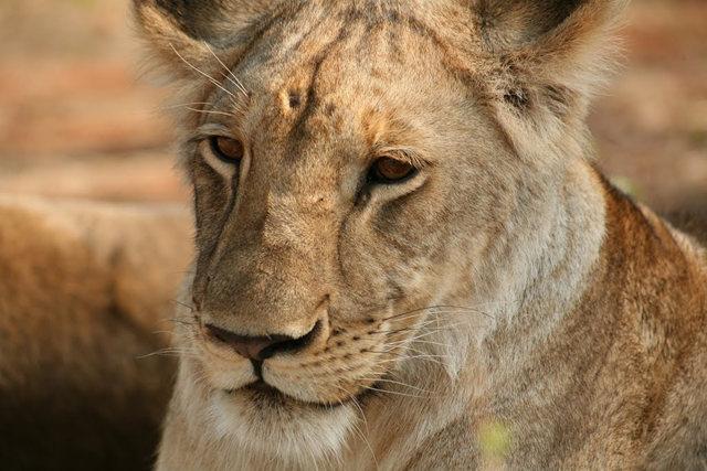 博茨瓦纳狮子保护园_图1-21
