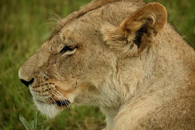 博茨瓦纳狮子保护园_图1-23