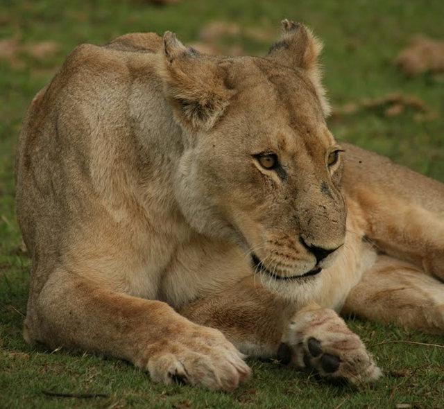 博茨瓦纳狮子保护园_图1-25