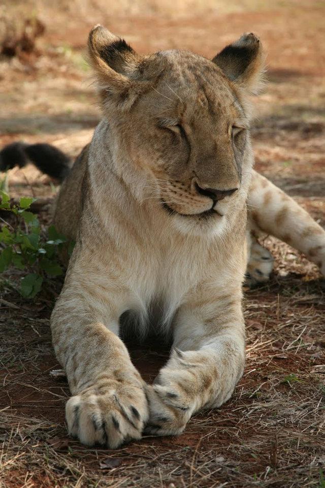 博茨瓦纳狮子保护园_图1-26