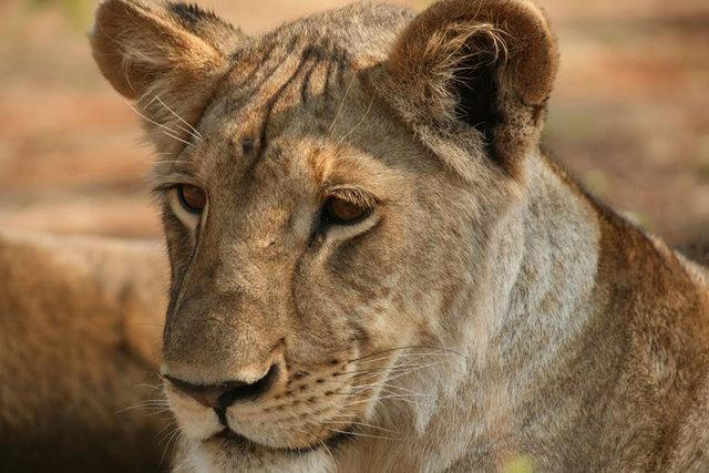 博茨瓦纳狮子保护园_图1-27