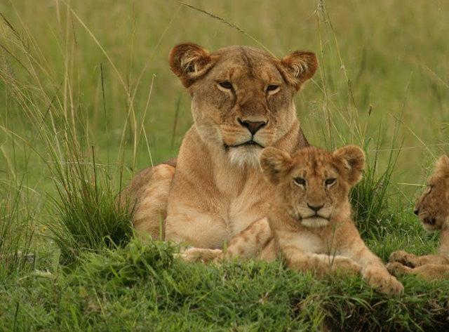 博茨瓦纳狮子保护园_图1-29