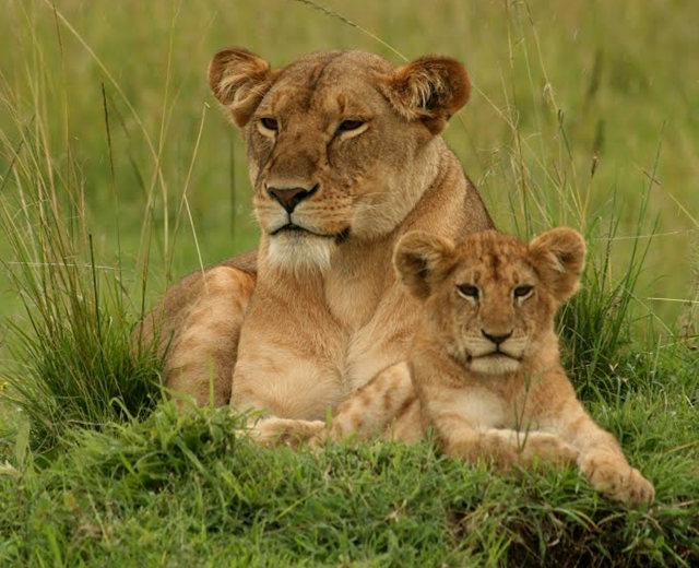 博茨瓦纳狮子保护园_图1-30